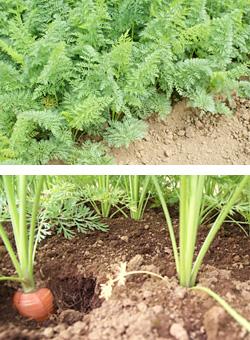 有機栽培・無農薬栽培